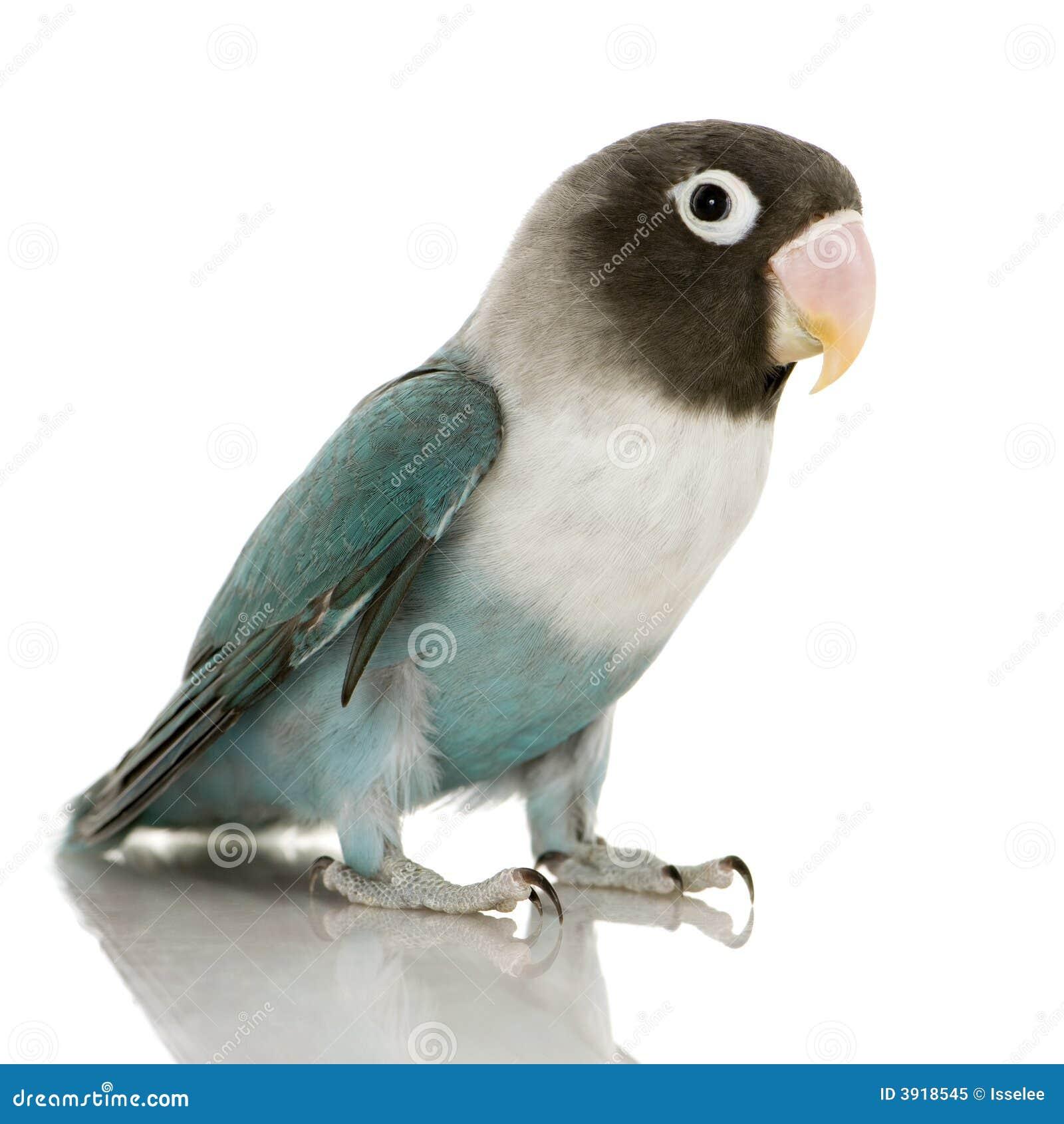 Lovebird mascherato blu - personata del Agapornis