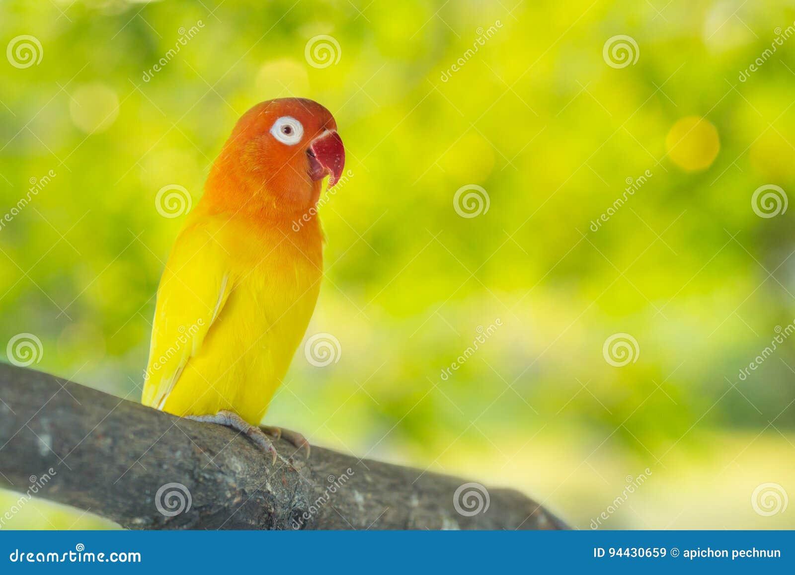 Lovebird papugi siedzi na gałąź