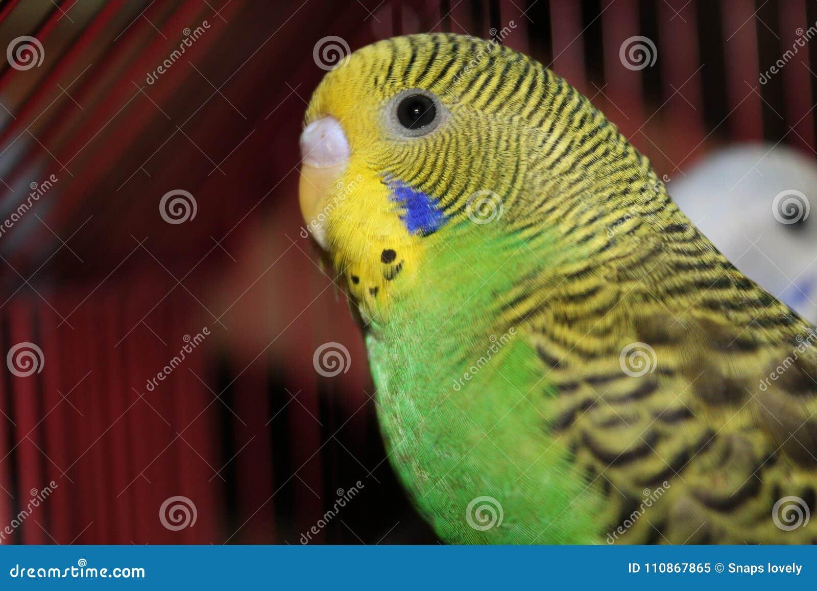 Lovebird zieleni i koloru żółtego Piękny lovebird