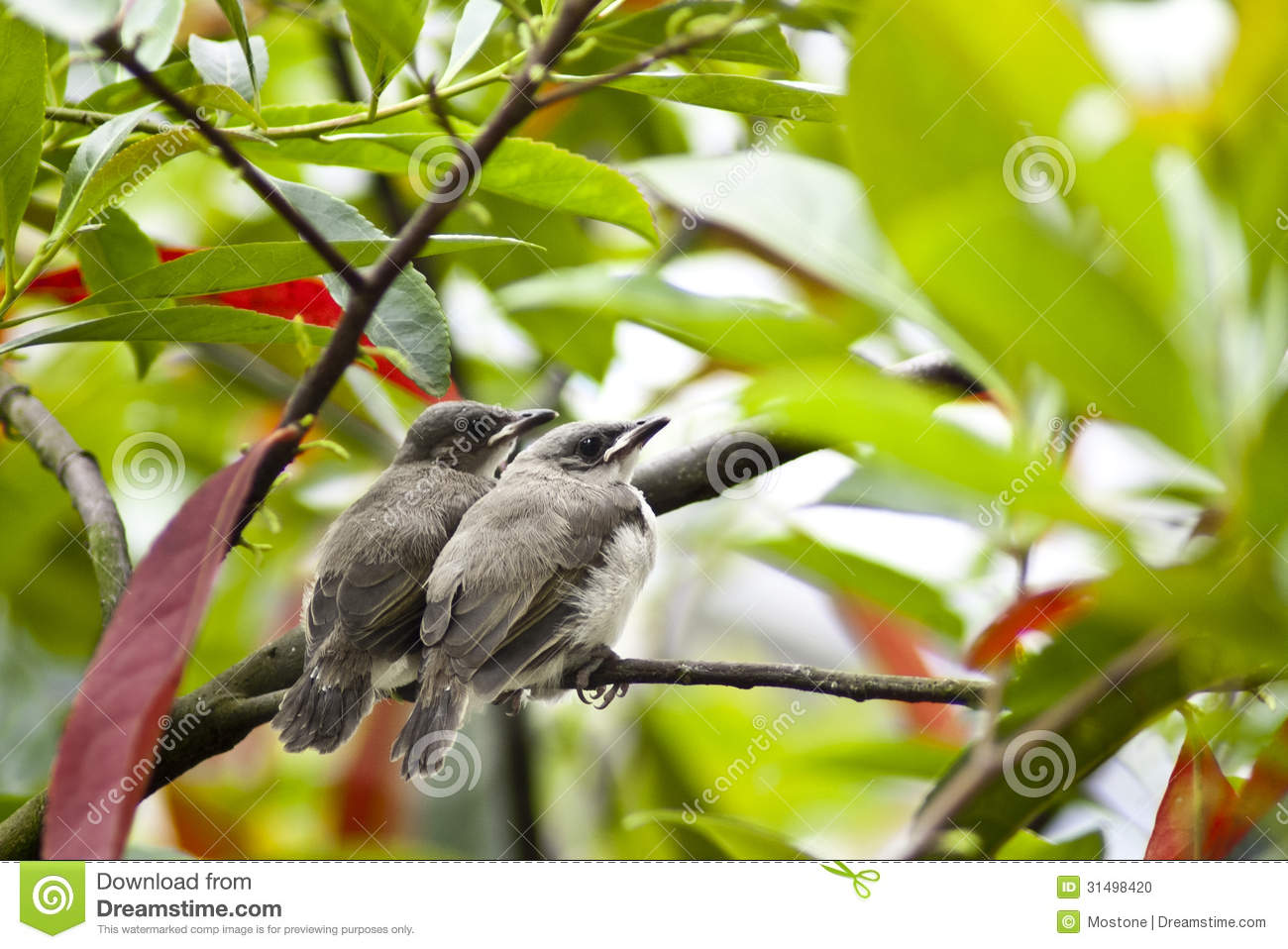 Lovebirds stock photo  Image of perching, leafy, cute - 31498420
