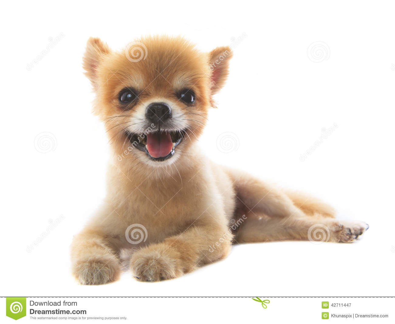 Lovely acting of pomeranian puppy dog isolated white background