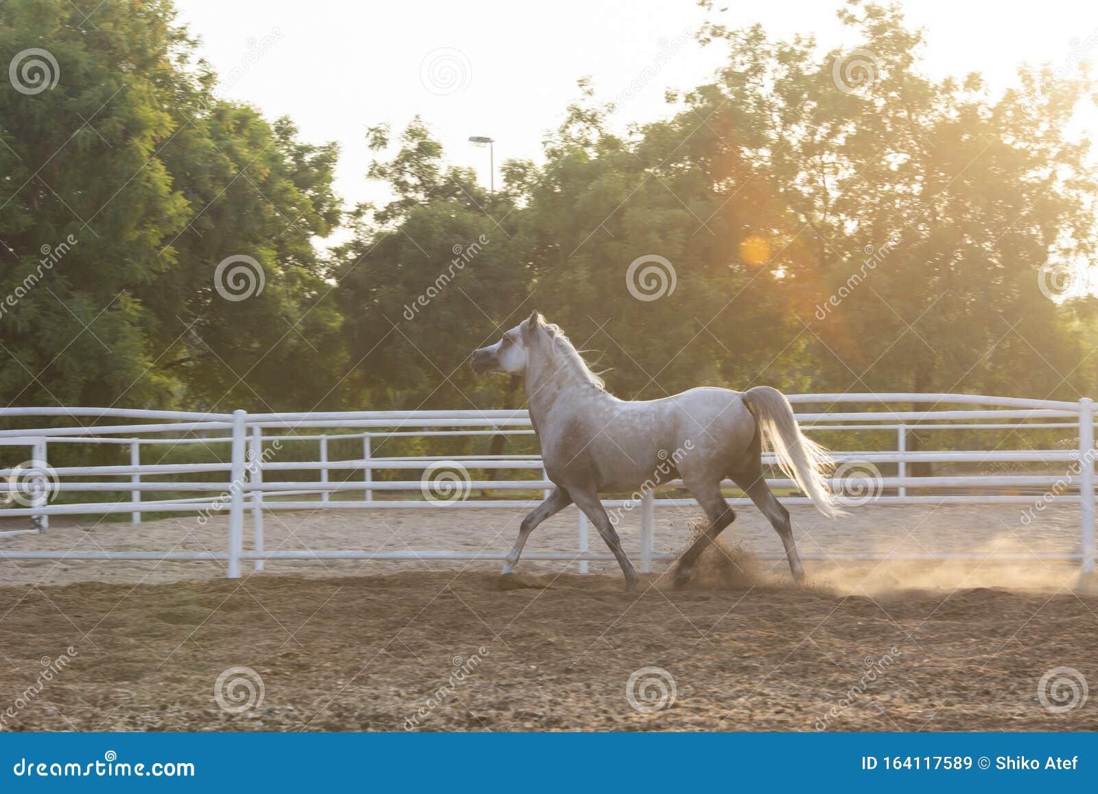 Lovely Arabian White Horse Dubai Stock Image Image Of Stallion Male 164117589