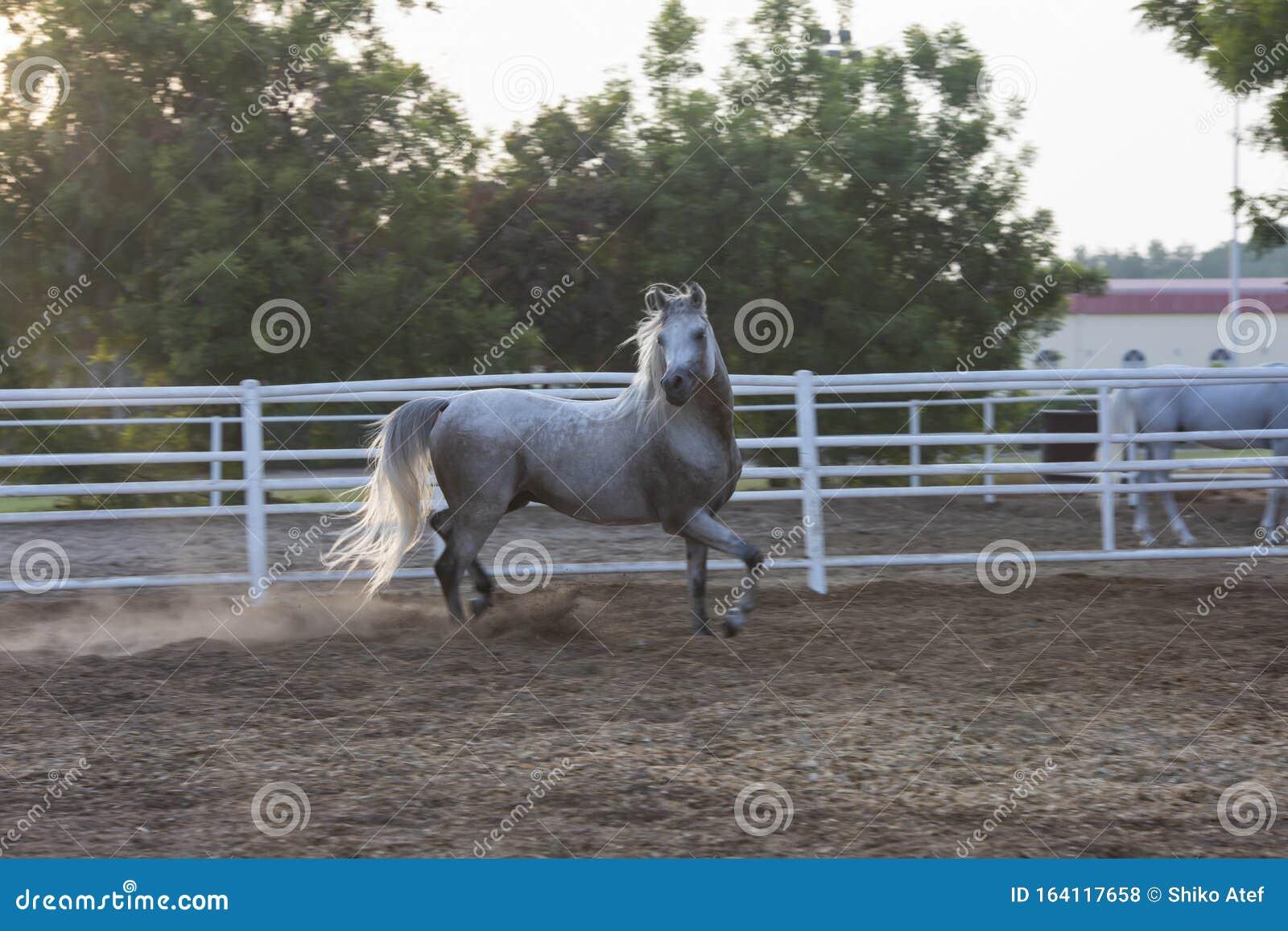 Lovely Arabian White Horse Dubai Stock Photo Image Of Beautiful Lovely 164117658
