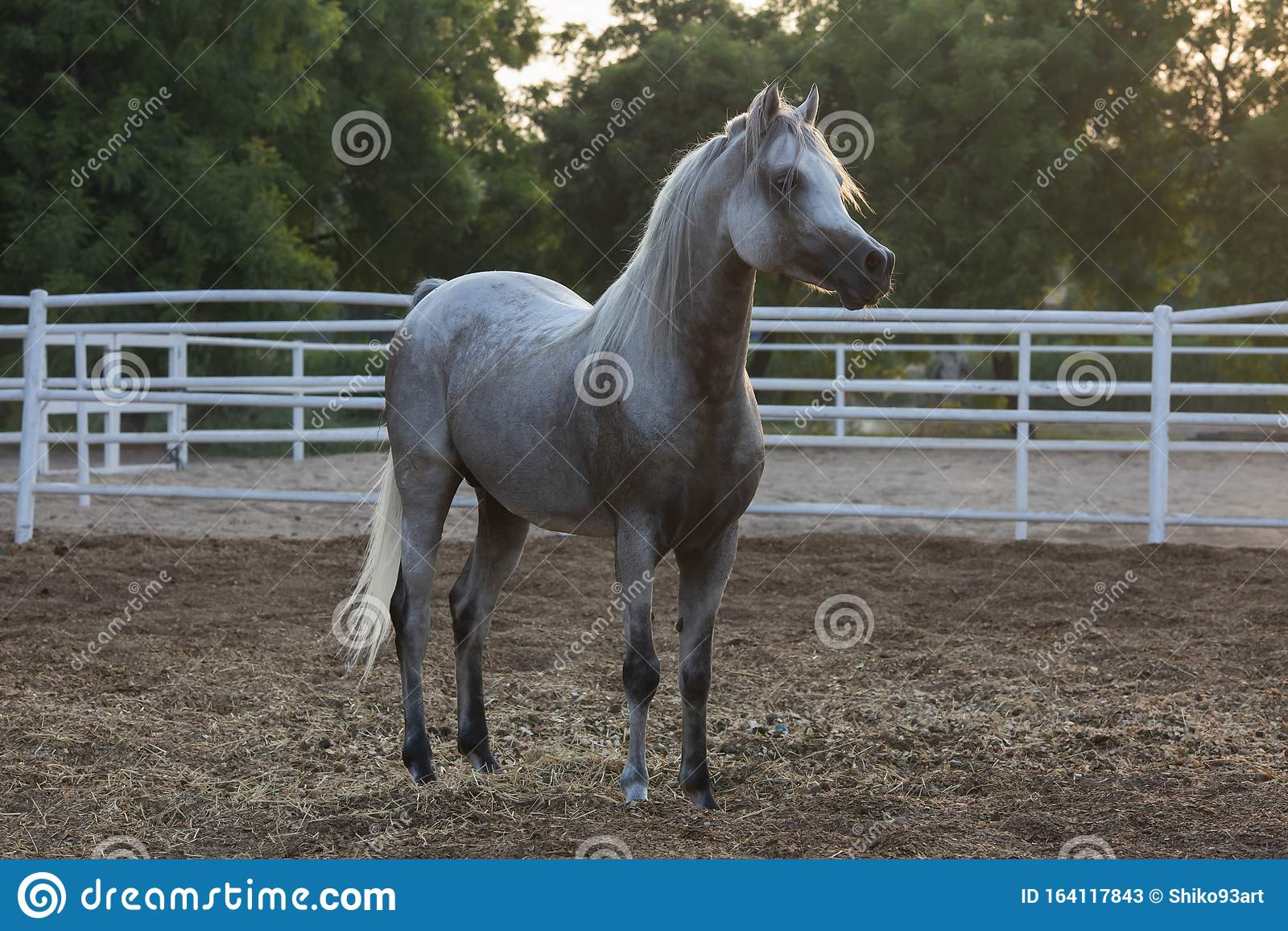 Lovely Arabian White Horse Dubai Stock Image Image Of Dubai White 164117843