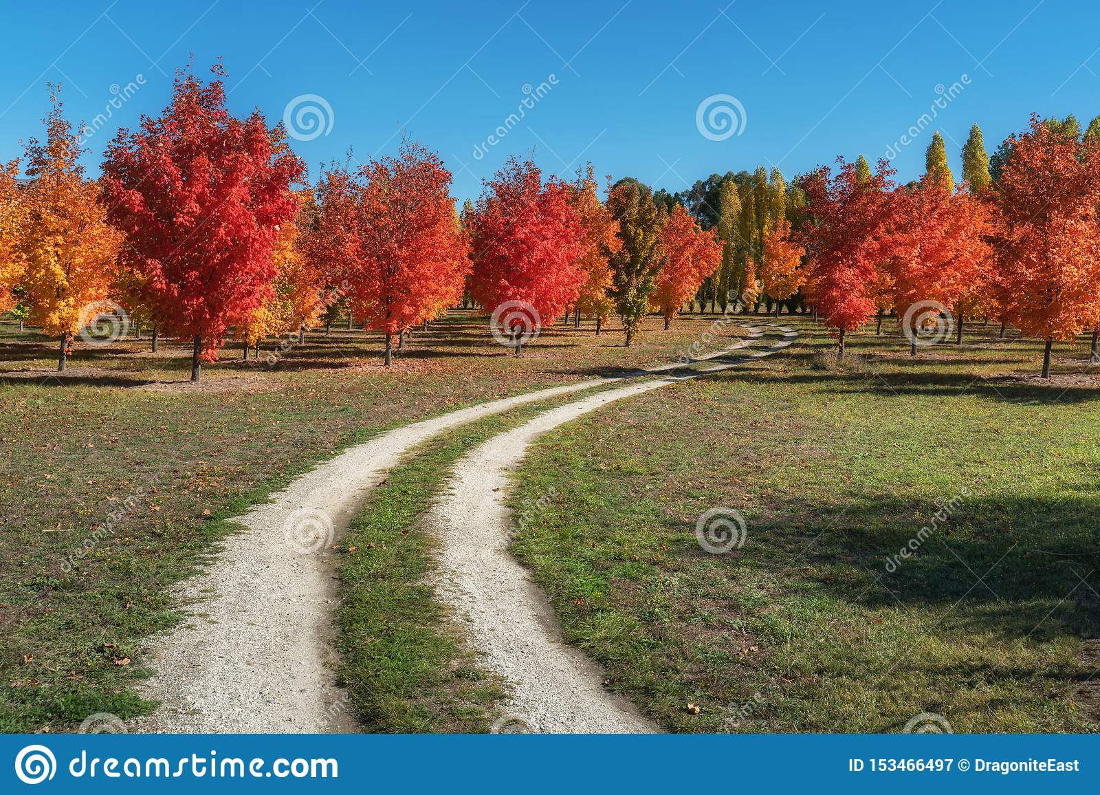 A lovely autumn maple trees on a dirt road in Roxburgh