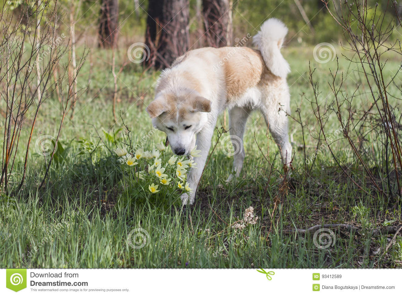 A lovely beautiful Japanese Akita Inu sniffs flowers of yellow snowdrops in the forest in spring among grass and trees.