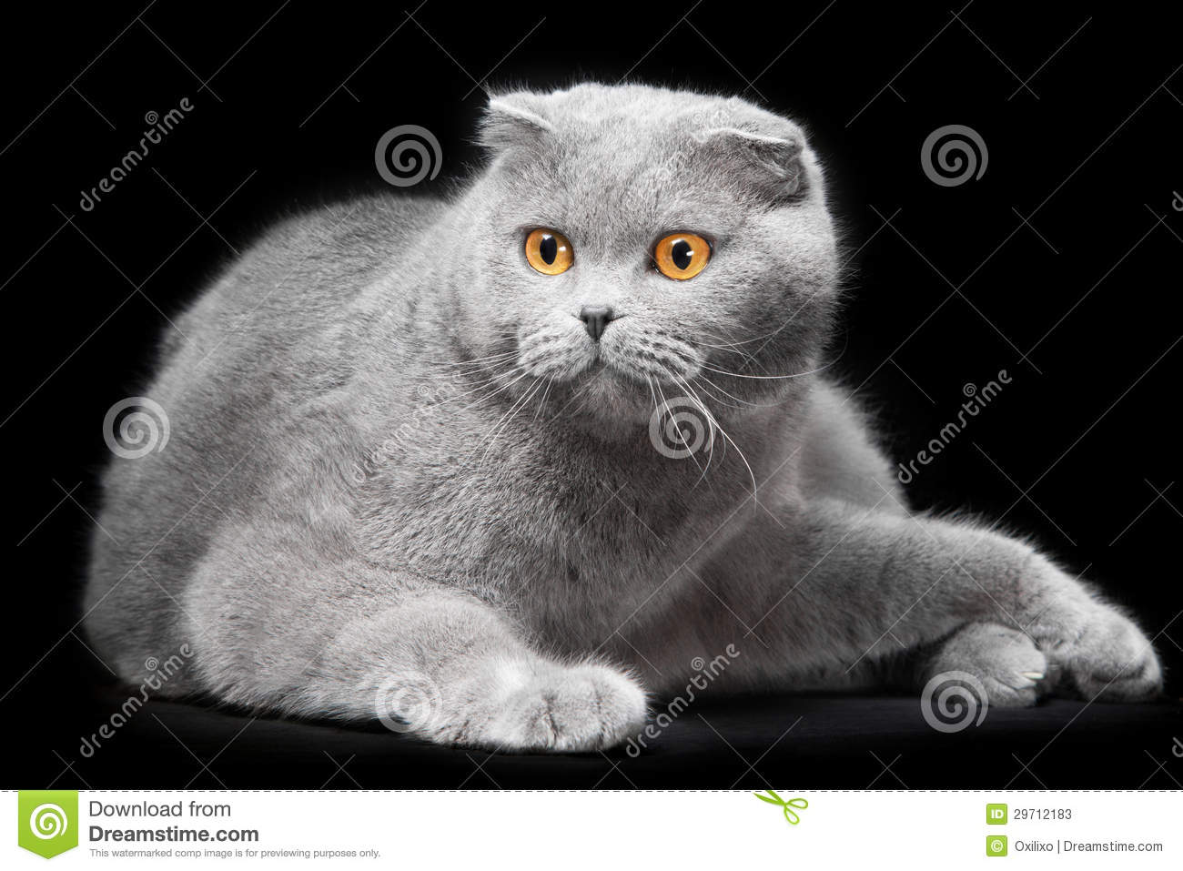 Scottish Fold Blue Cat Photography