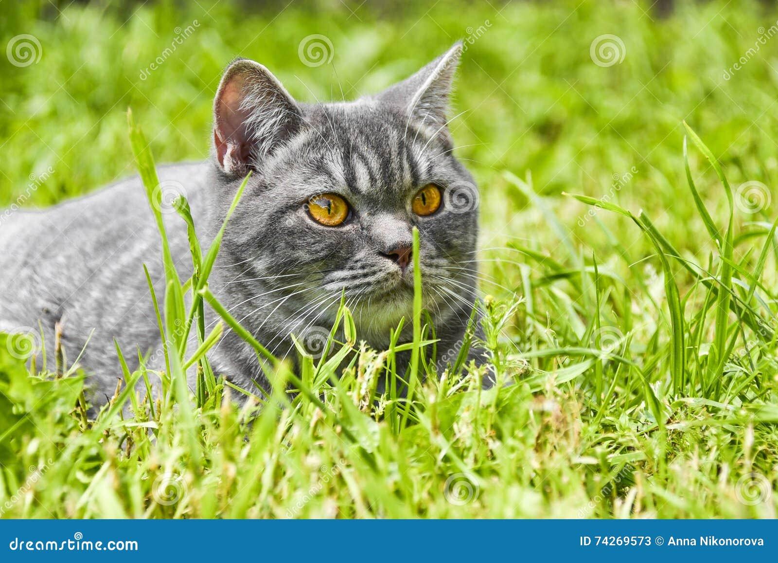 Lovely British kitten in a green grass