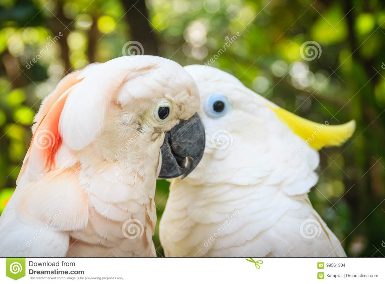 lovely couple of cockatoos. cute couple white cockatoos kissing