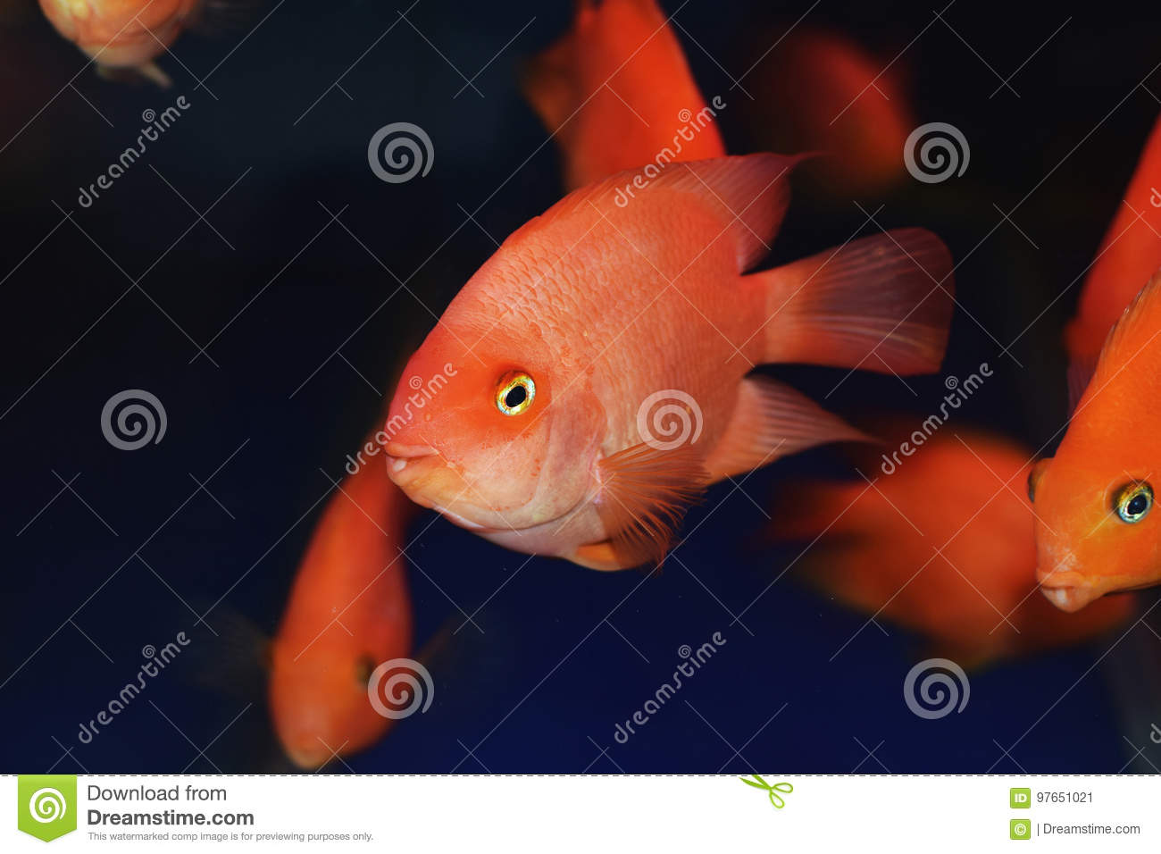 Lovely cute parrot fish stock image. Image of nature - 97651021