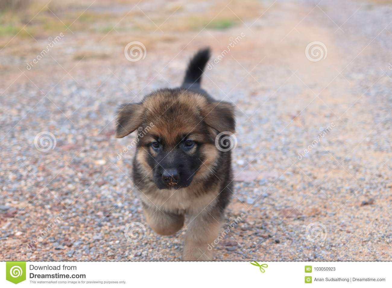 Lovely Cutie German Shepherd Puppy Walking At Outdoors Home Stock Image Image Of Adorable Beautiful 103050923