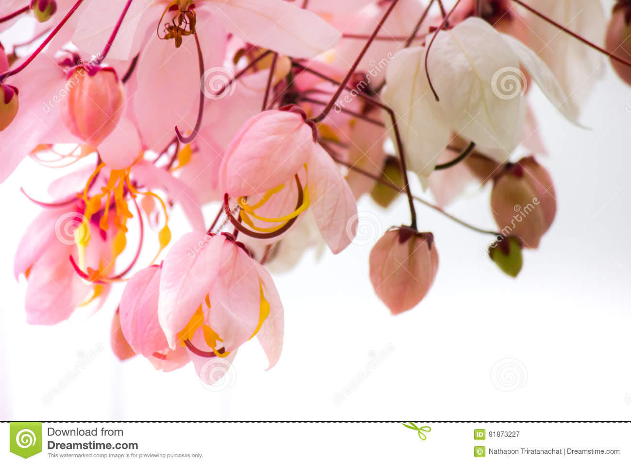 Lovely Flowers Of Cassia Bakeriana Craib Or Pink Shower Tree In