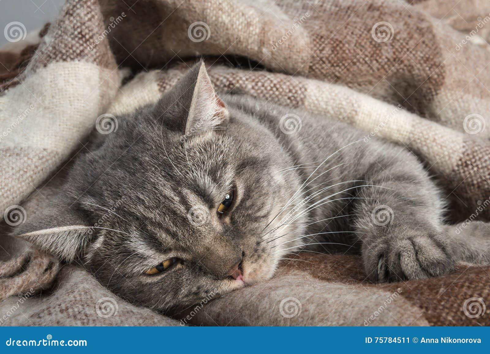 Lovely fluffy cat sleeps in plaid