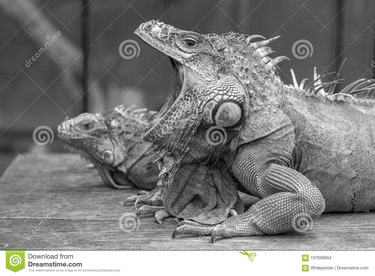 Lovely iguana enjoy the warm day sun baking and have a nice posed to the camera