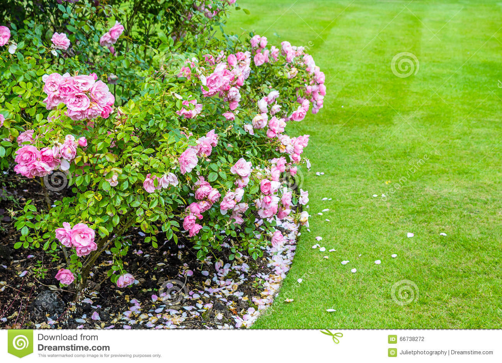 lovely light pink roses bushes in victorian garden stock. Black Bedroom Furniture Sets. Home Design Ideas