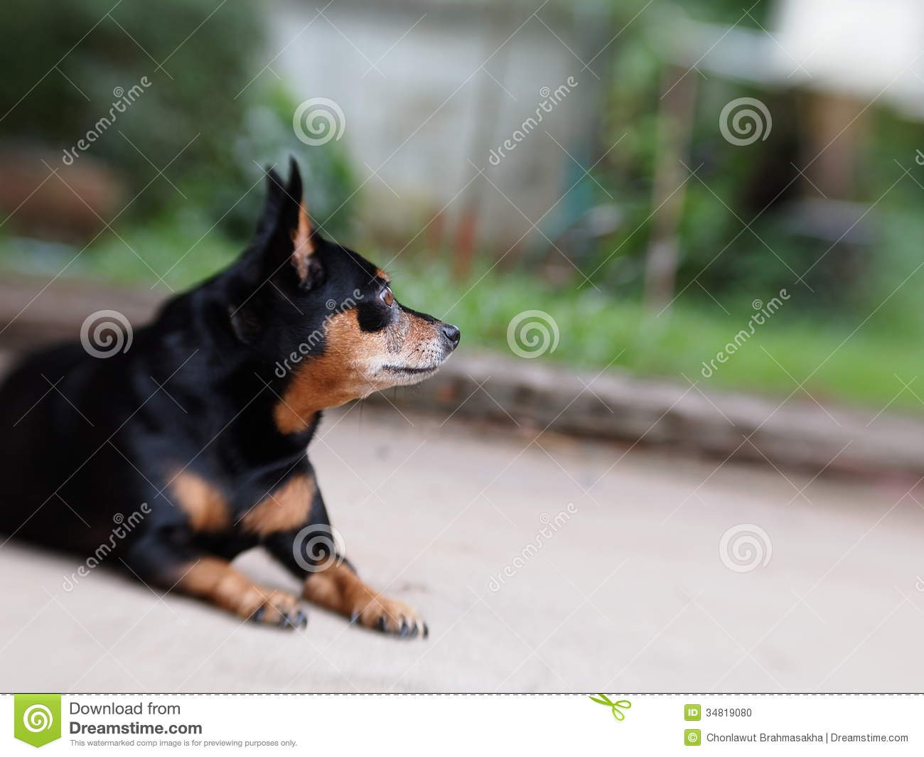 Stock Photo Lovely Miniature Pinscher Dog Black Small Fat Playing Field Green Area Image34819080 on small clinic floor plans