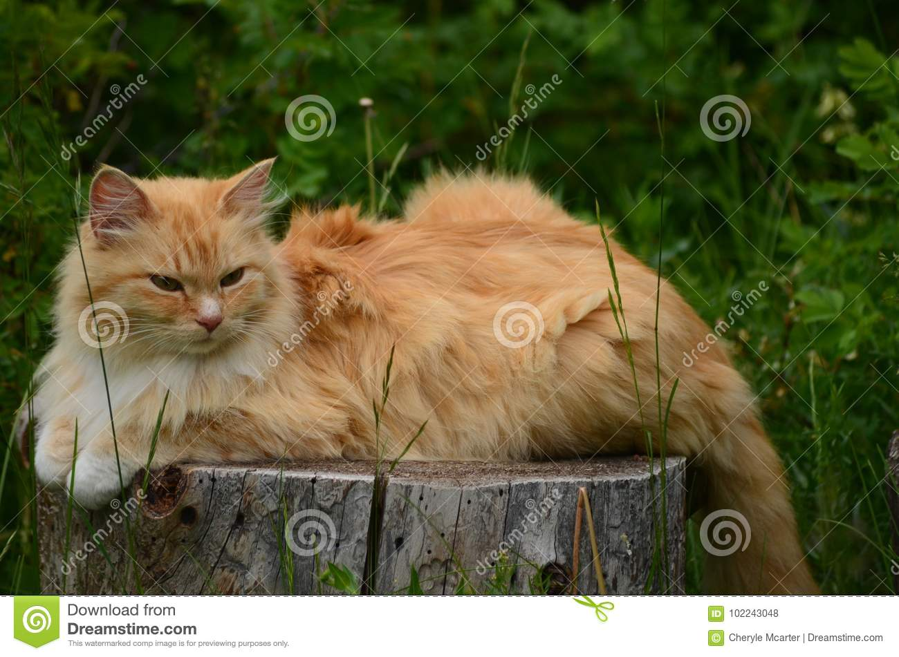 An Orange Tabby Cat Sits Perched On A Wooded Tree Stump