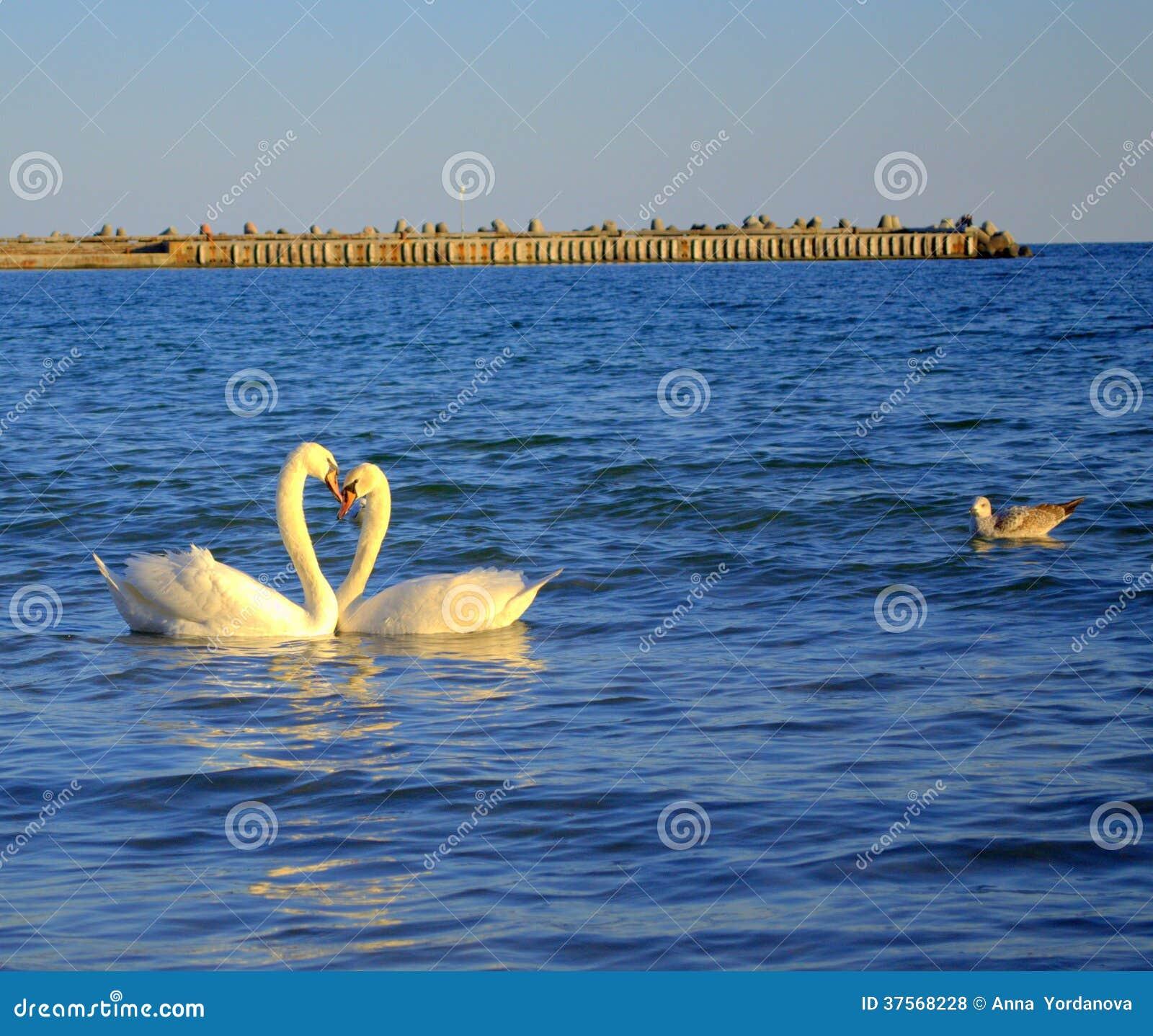 Lovely swans pair in sea