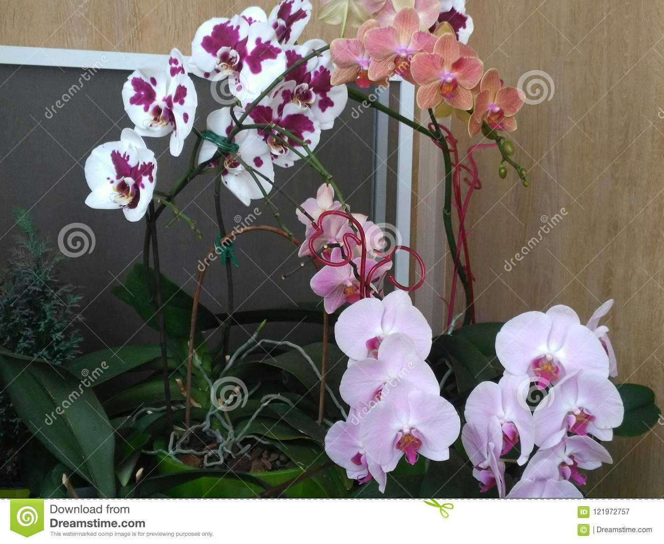 Beautiful Orchid And Fur Tree Stock Image Image Of Lovely