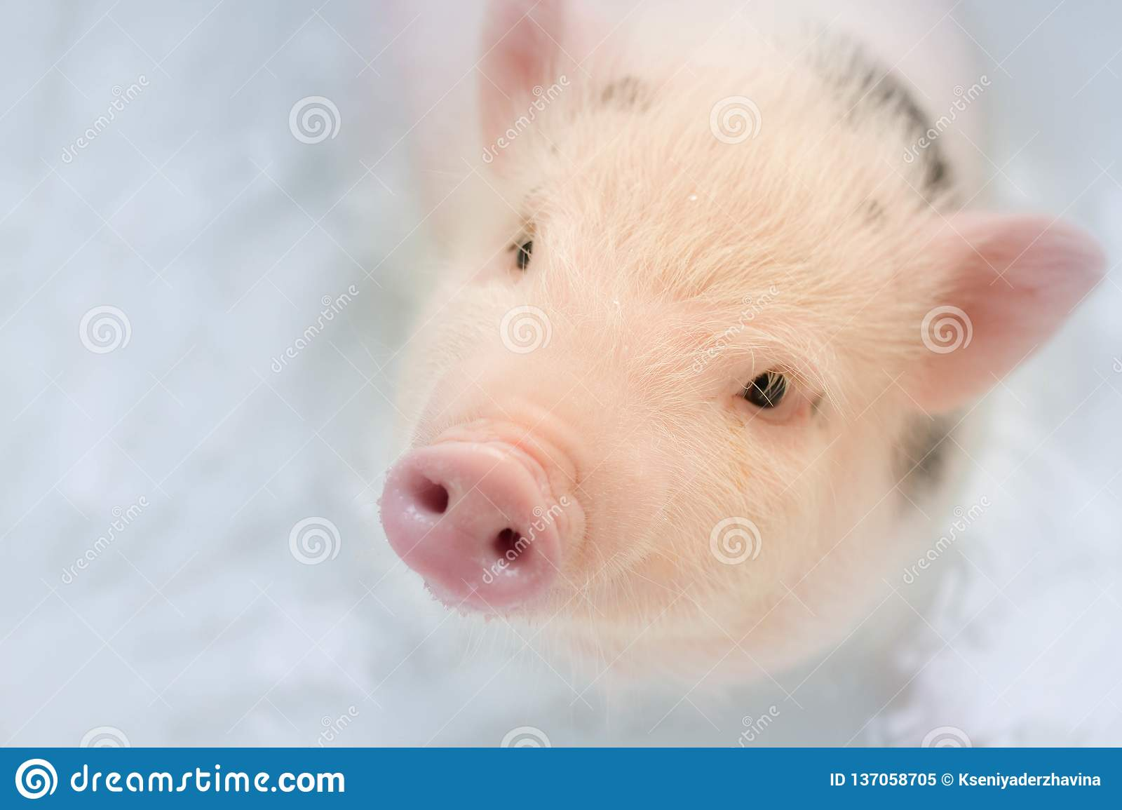 Lovely pig looks up standing in blue water in a snow-white bath