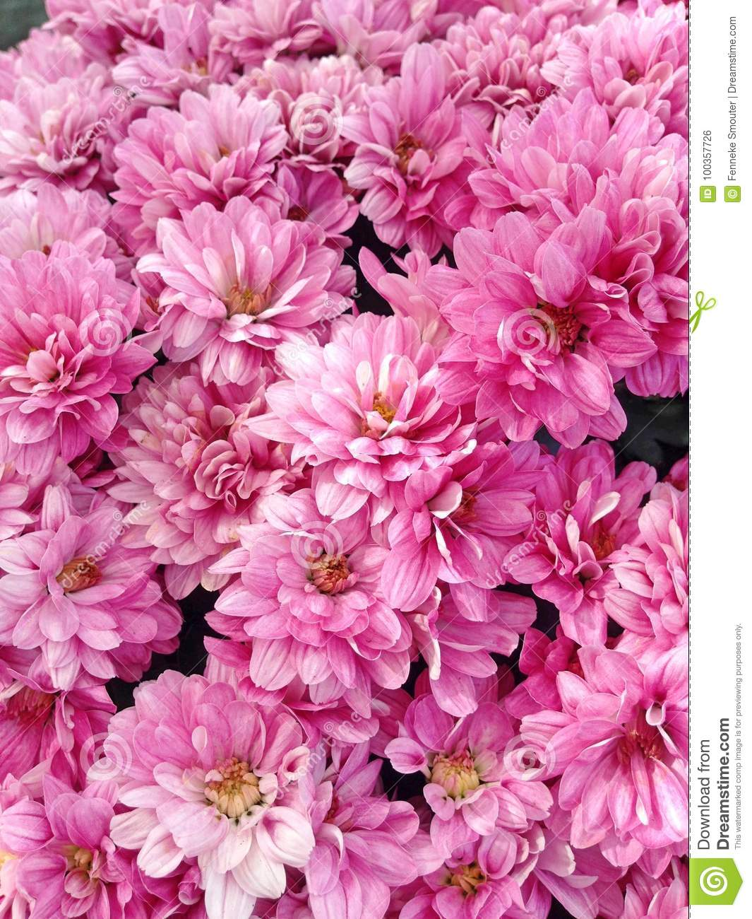 Lovely Pink Flowers From A Spherical Chrysant Stock Photo Image Of