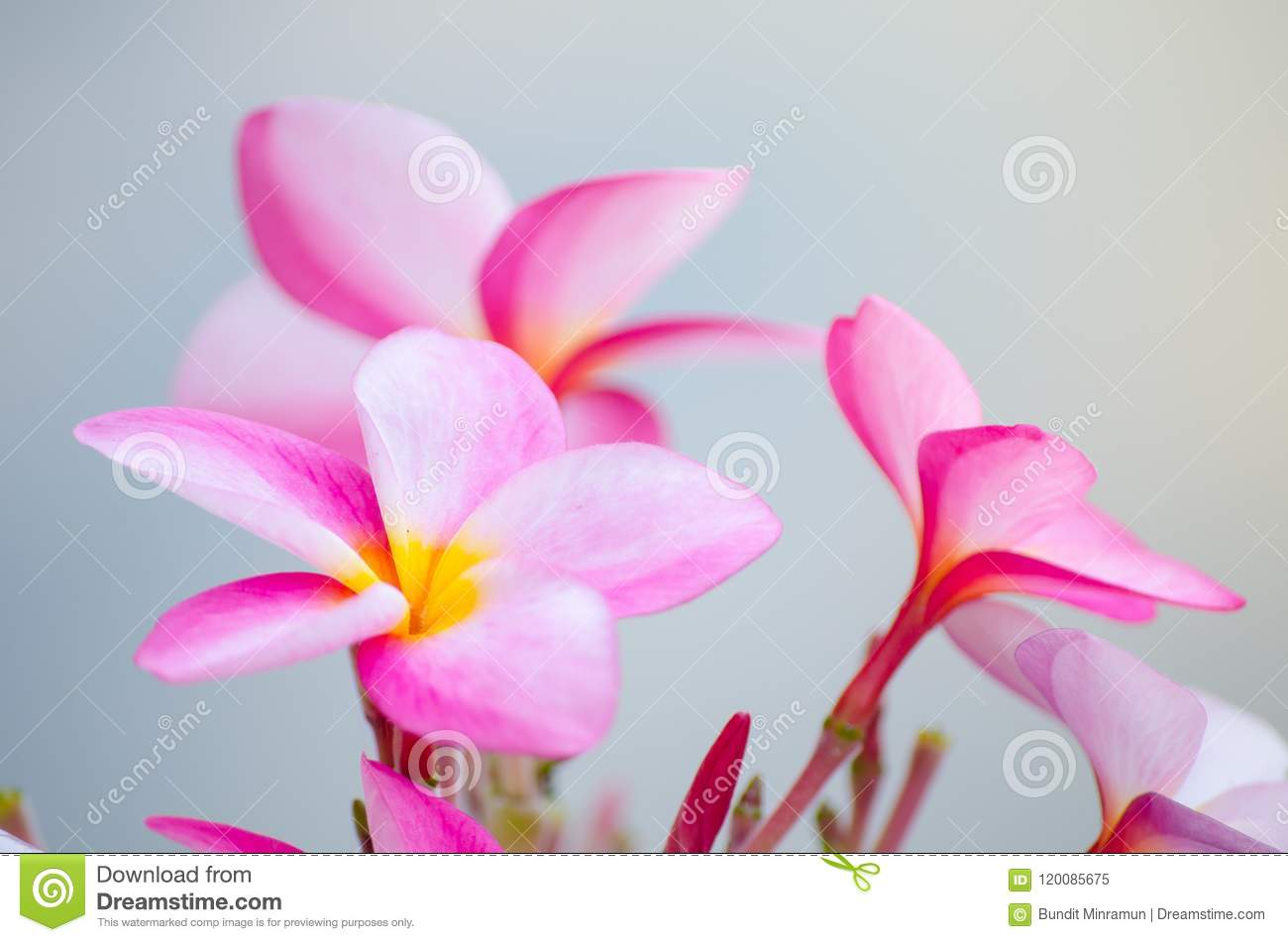 Lovely Pink Plumeria Flowers In Close Up At A Botanical Garden
