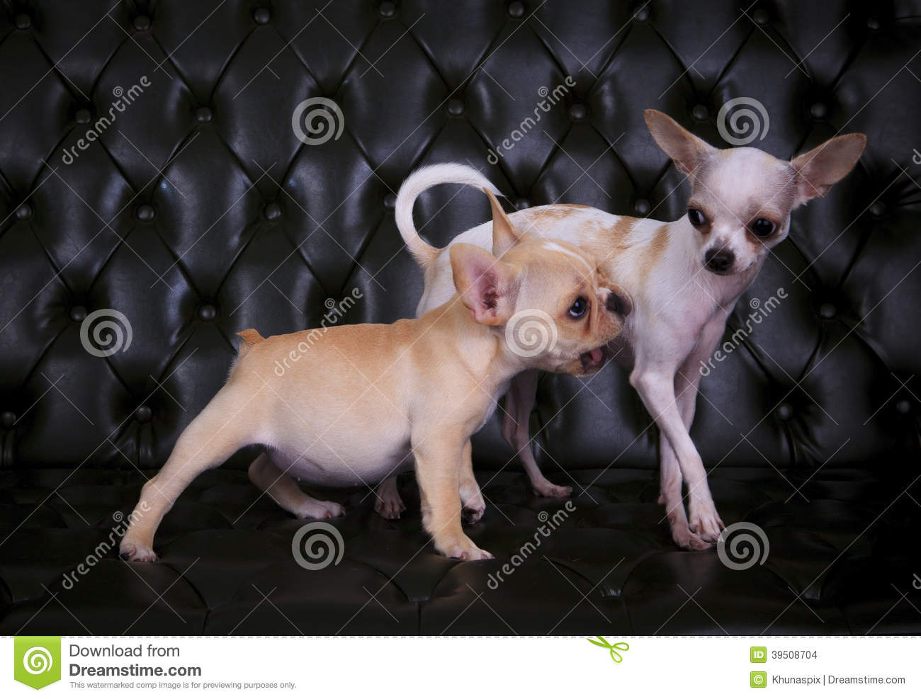 Lovely playing acting of french bulldog and chihuahua dogs on b