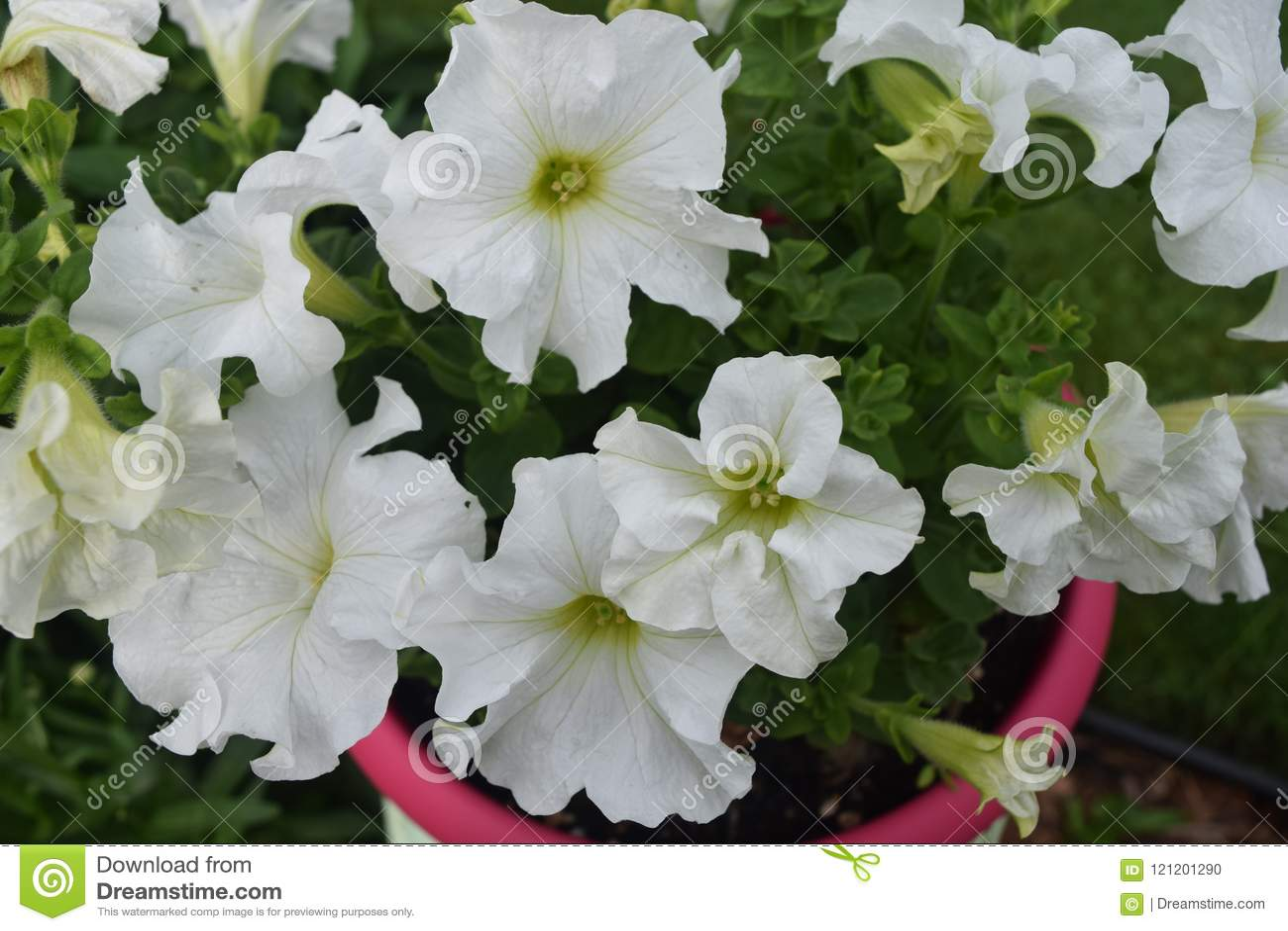 Lovely Pot Of White Flowers Stock Photo Image Of Honeybee Flower