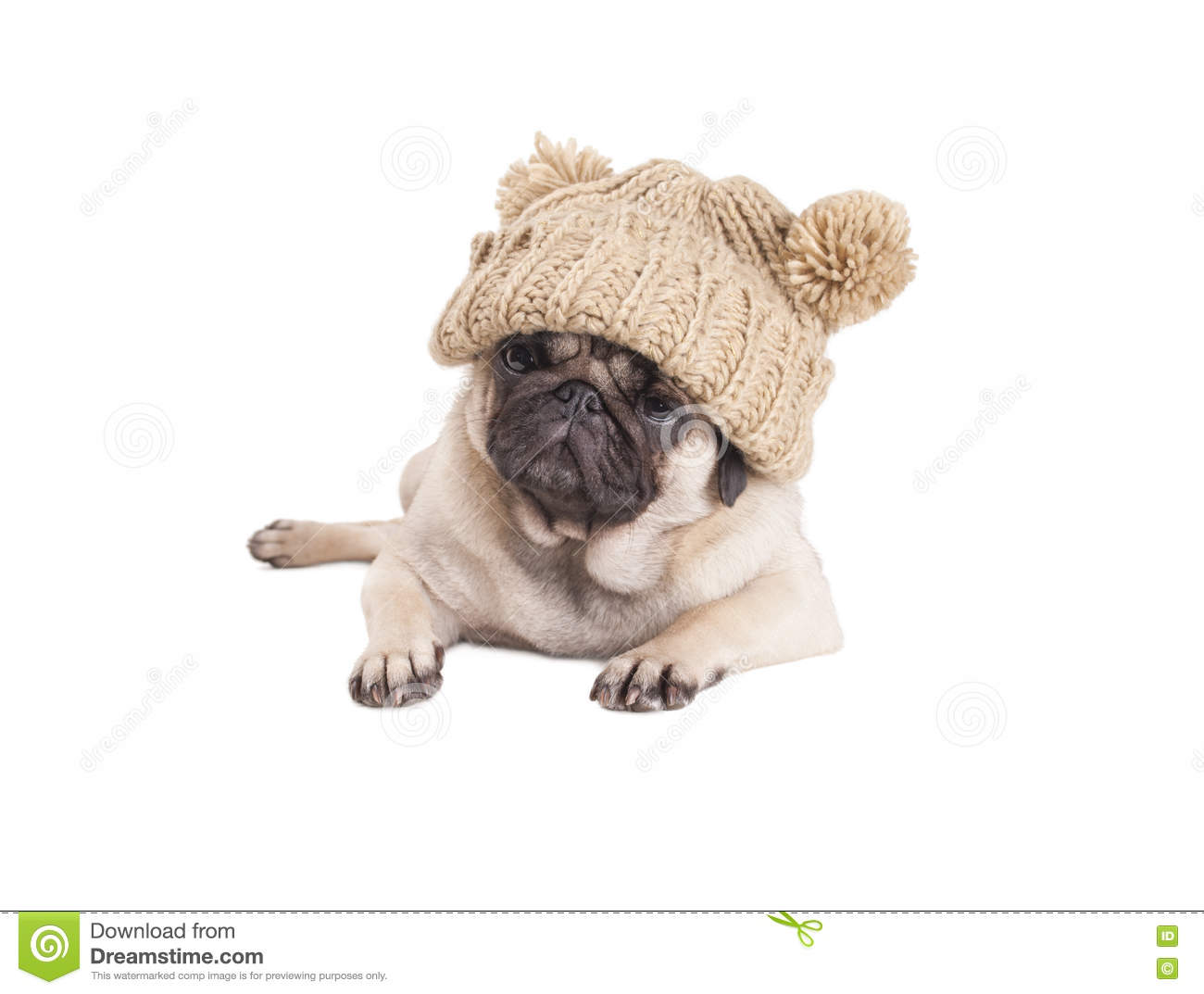 0c88b0be04c Lovely pug puppy dog lying down and wearing knitted a knitted hat with  pompoms