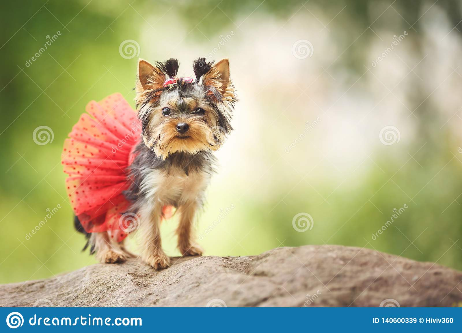 Lovely puppy of female Yorkshire Terrier small dog with red skirt on green blurred background