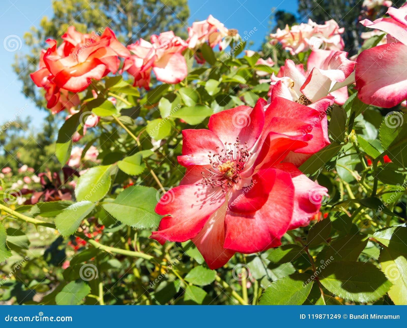 Lovely Red Pink Petal Of Rose Flower In Spring Season At A Botanical