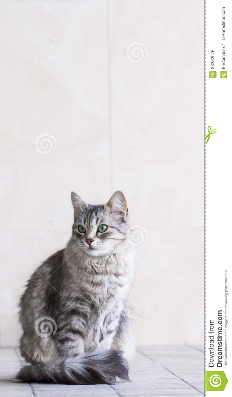 Lovely silver cat in the house, female siberian breed