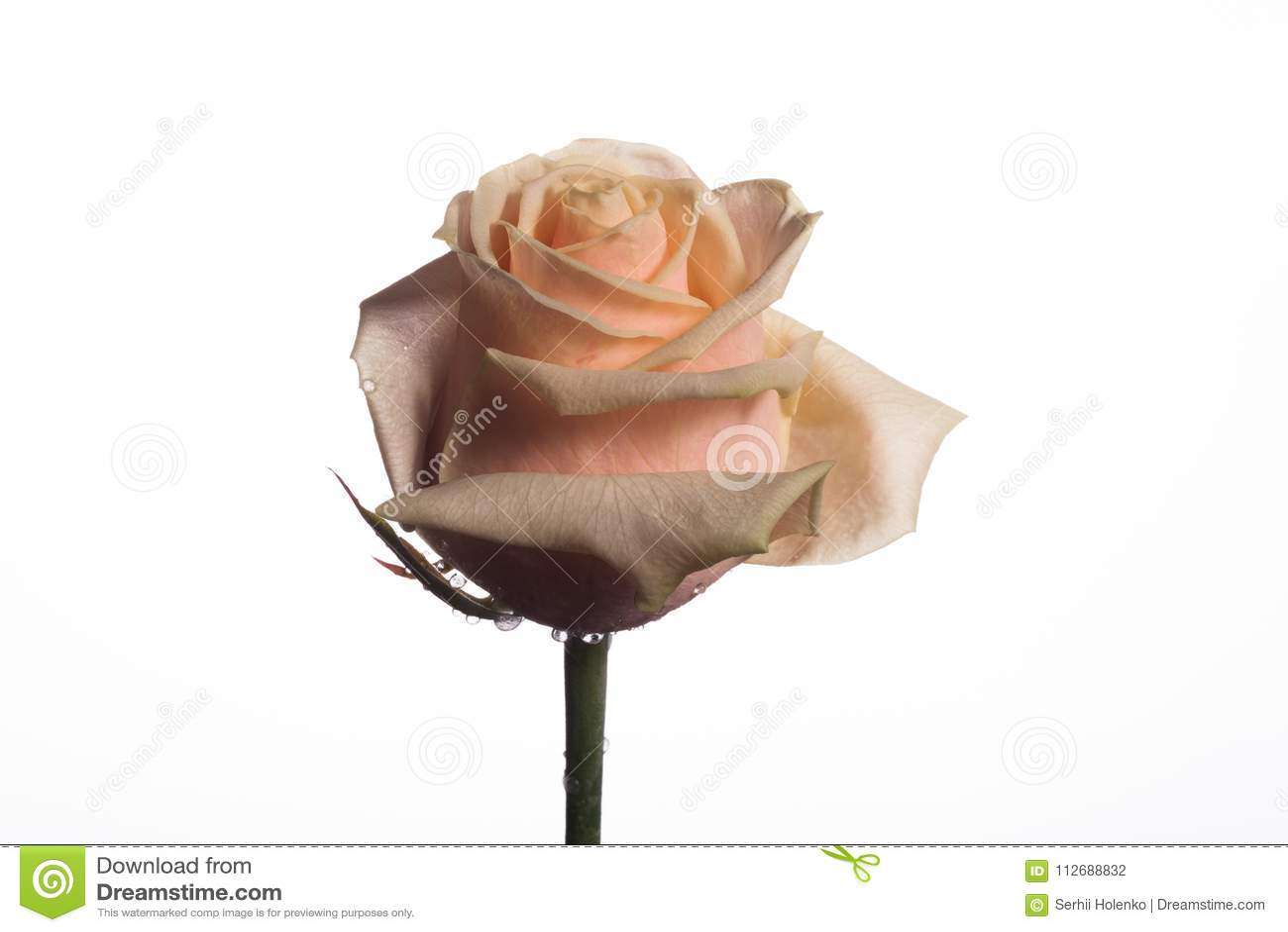 Beautiful Rose On A Monophonic Background Stock Photo Image Of