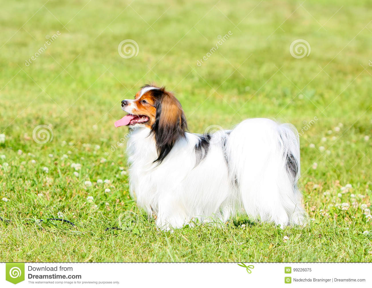 Phalen stands in a beautiful counter on the green grass. A dog with a long hair walks in the summer on a sunny day.