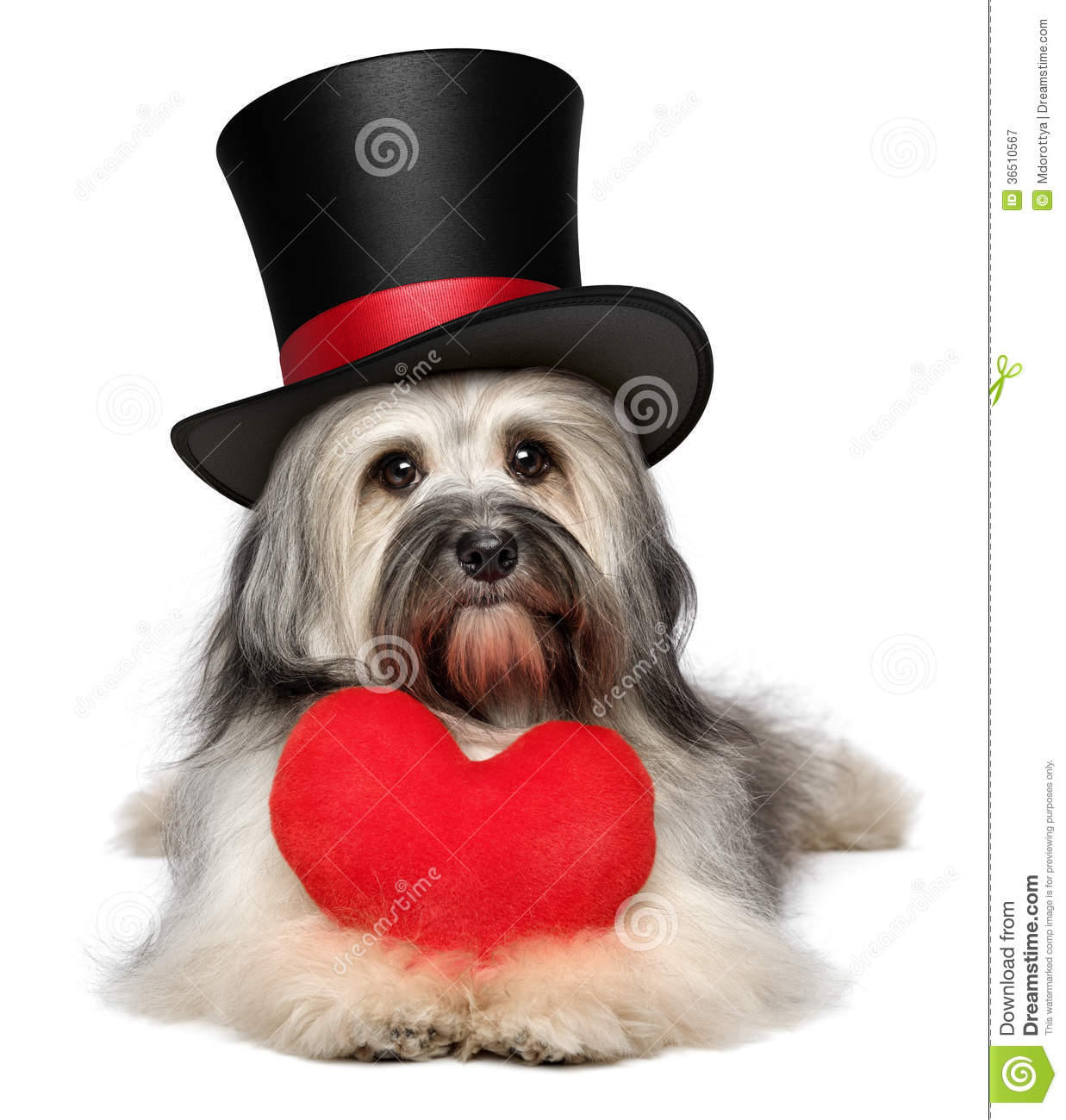 Lover Valentine Havanese Dog With A Red Heart And Black