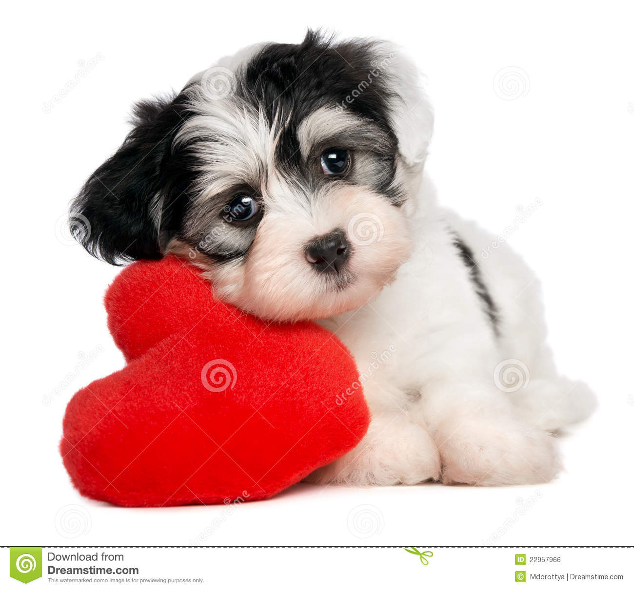 Lover valentine havanese puppy stock photo image 22957966 - Valentines day pictures with puppies ...