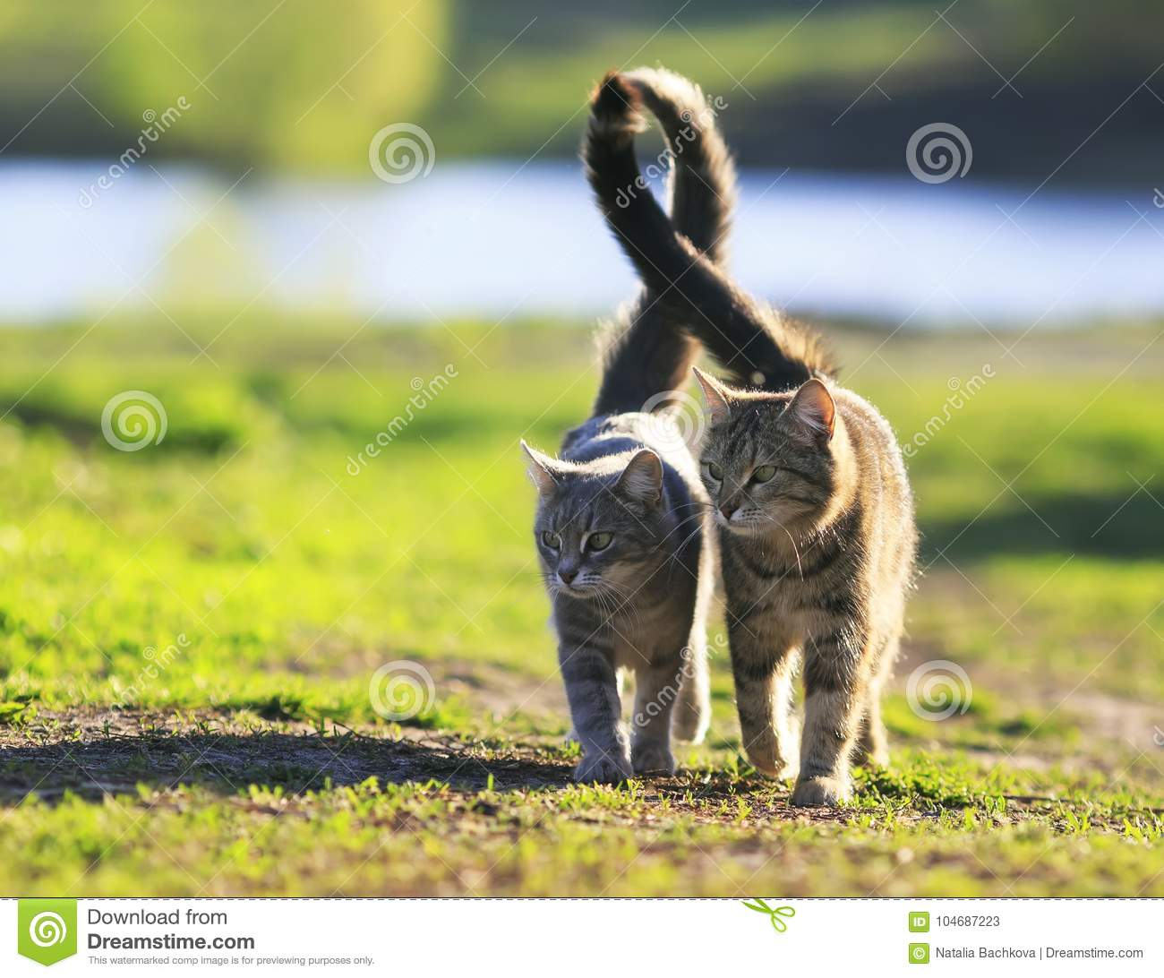 lovers couple striped cats walk together on green meadow in Sunny day lifting the tails