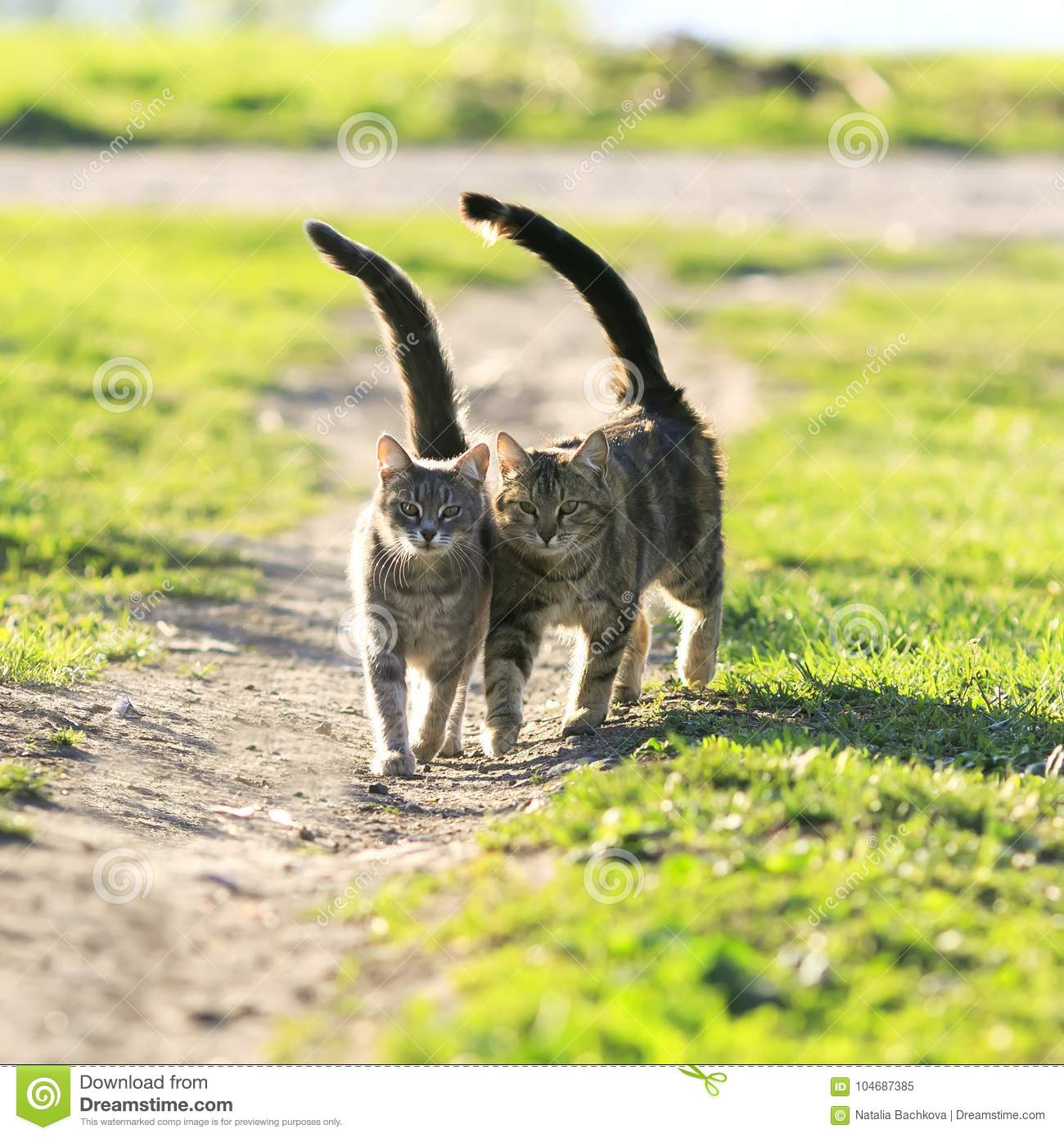 Lovers couple striped cats walk together on green meadow liftin