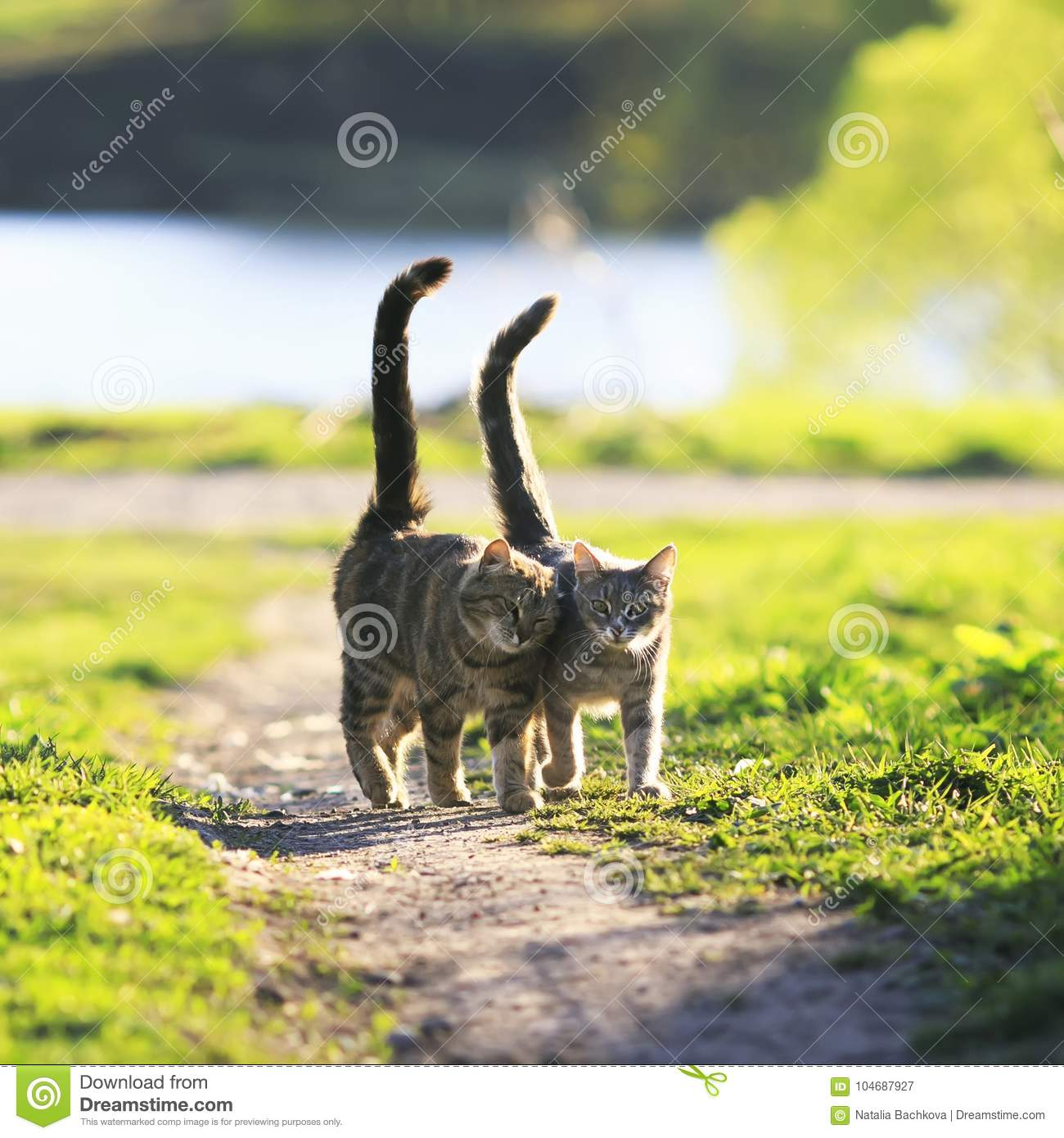lovers couple striped cats walk together on green meadow in Sunny day