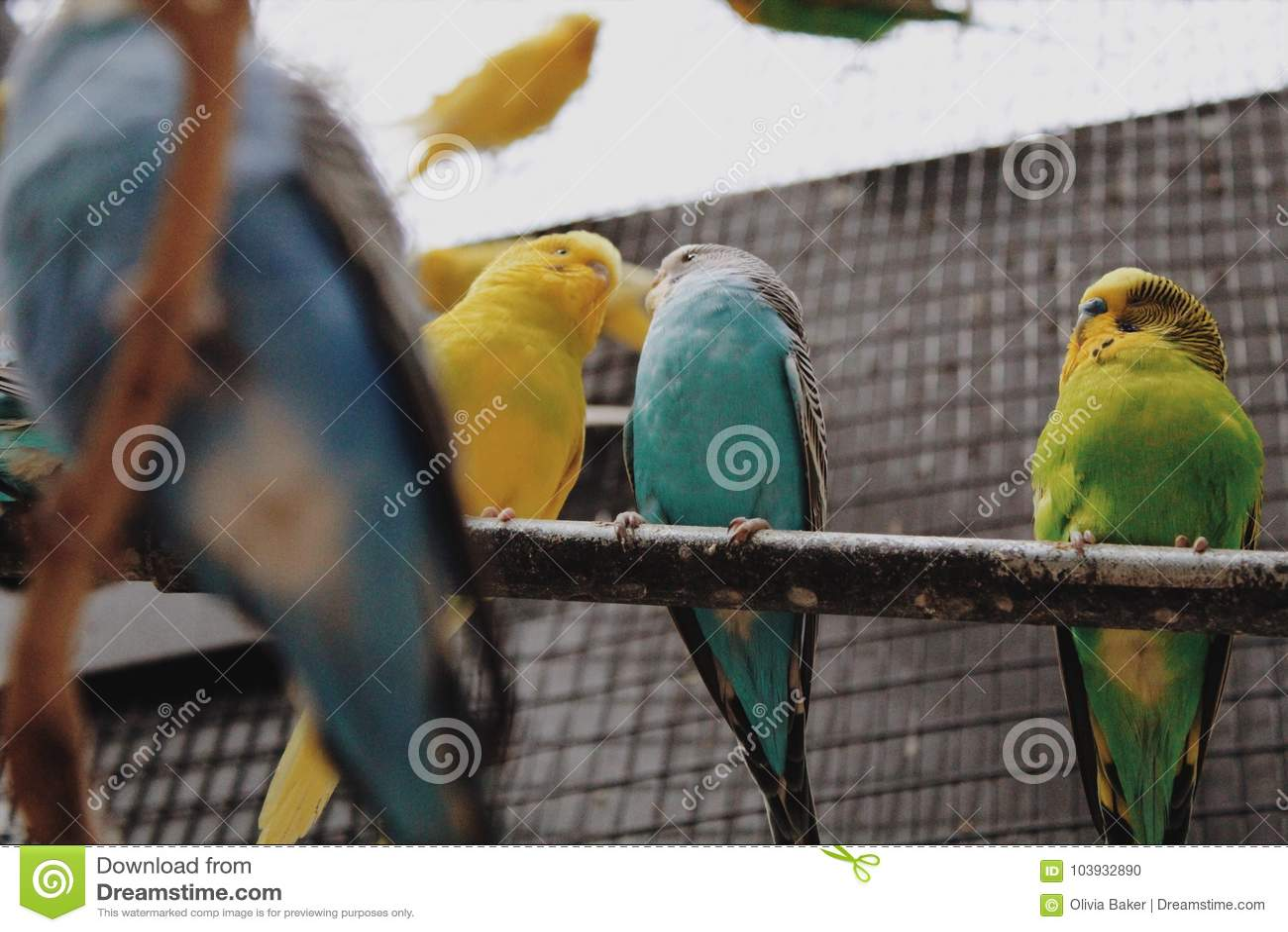 love birds stock photo. image of wallpapers, scene, backgrounds
