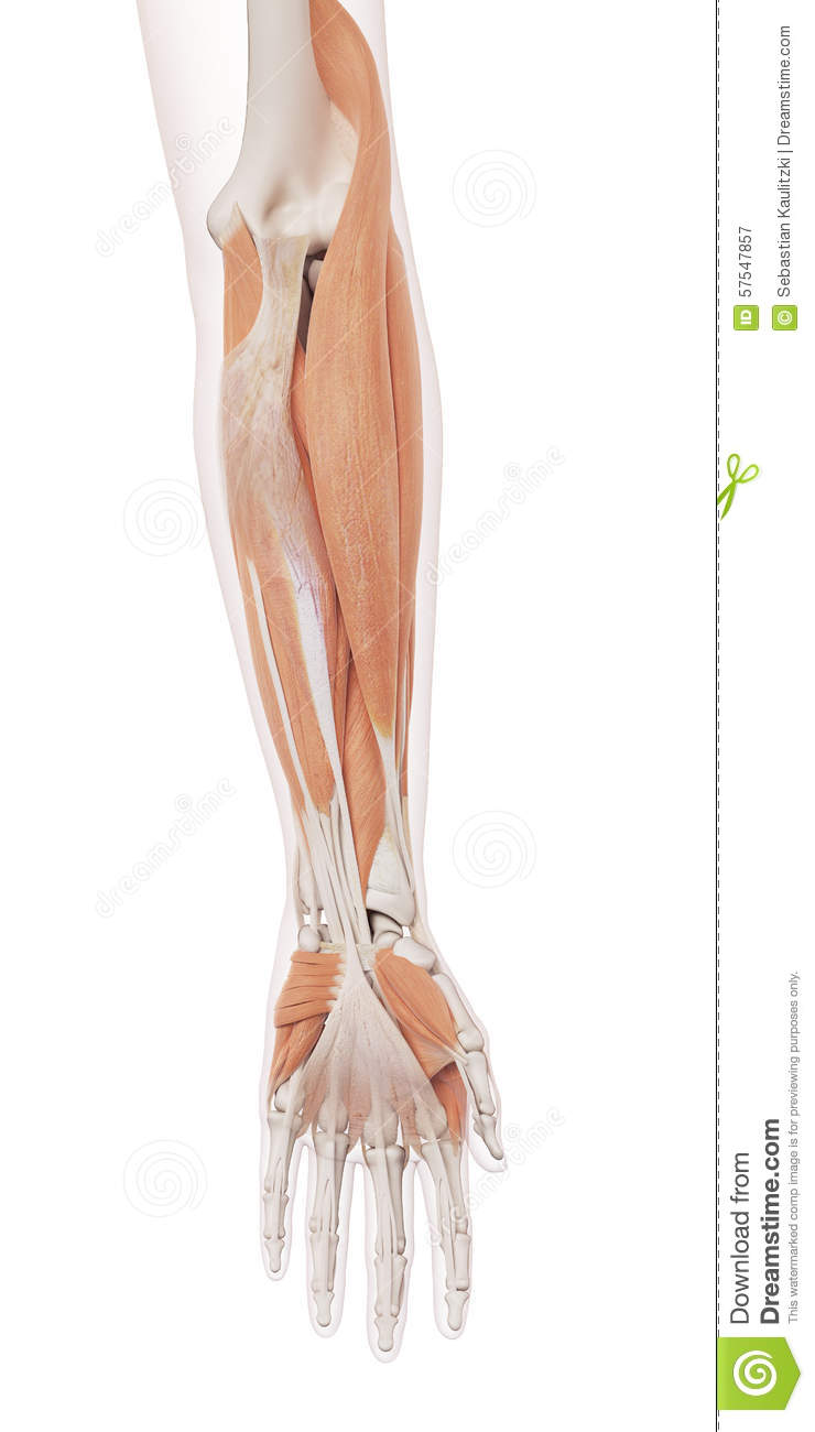 The Lower Arm Muscles Stock Illustration Illustration Of Anatomical