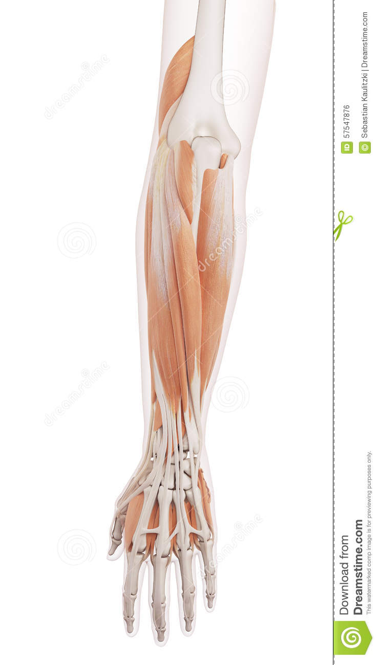 The Lower Arm Muscles Stock Illustration Illustration Of Health