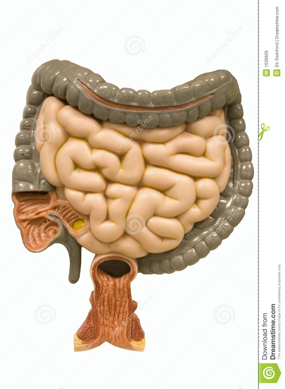 ... track showing large and small intestine. Image has a clipping path