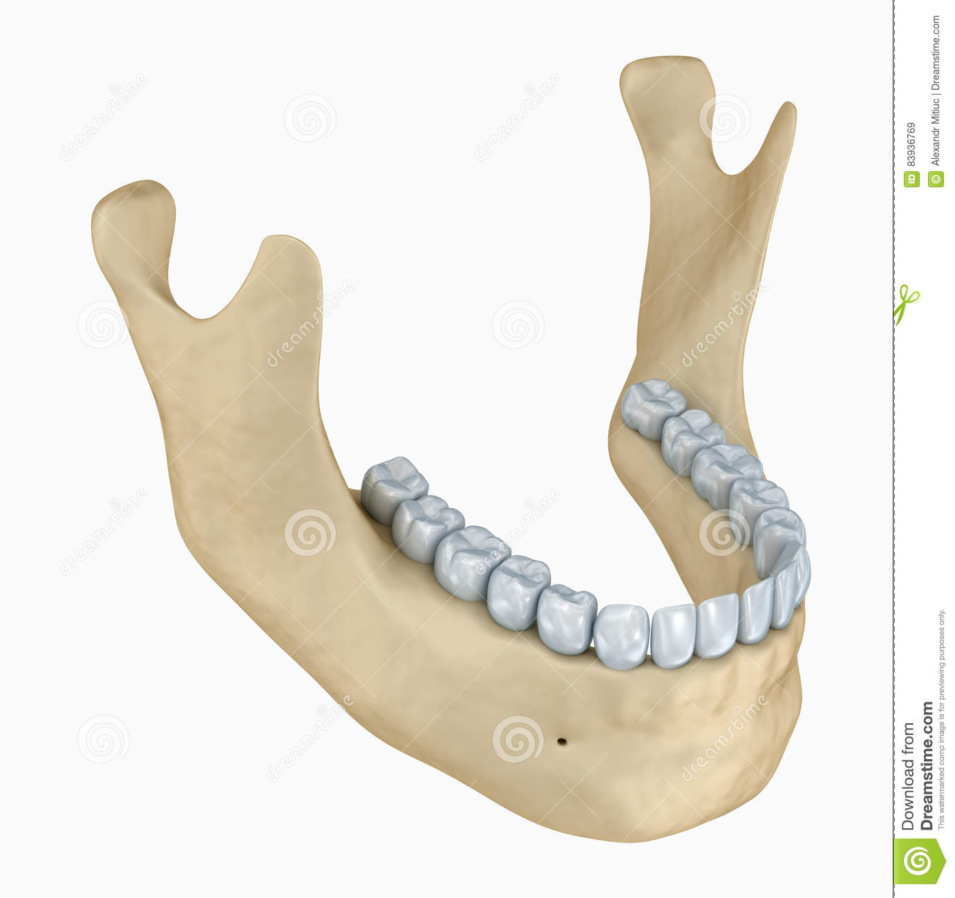 Lower Jaw Skeleton And Teeth Anatomy Stock Illustration