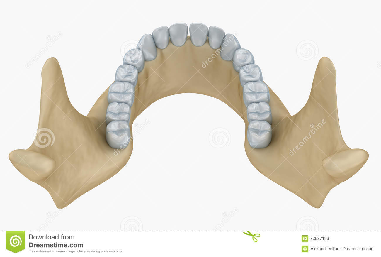 Lower Jaw Skeleton And Teeth Anatomy Stock Illustration ...
