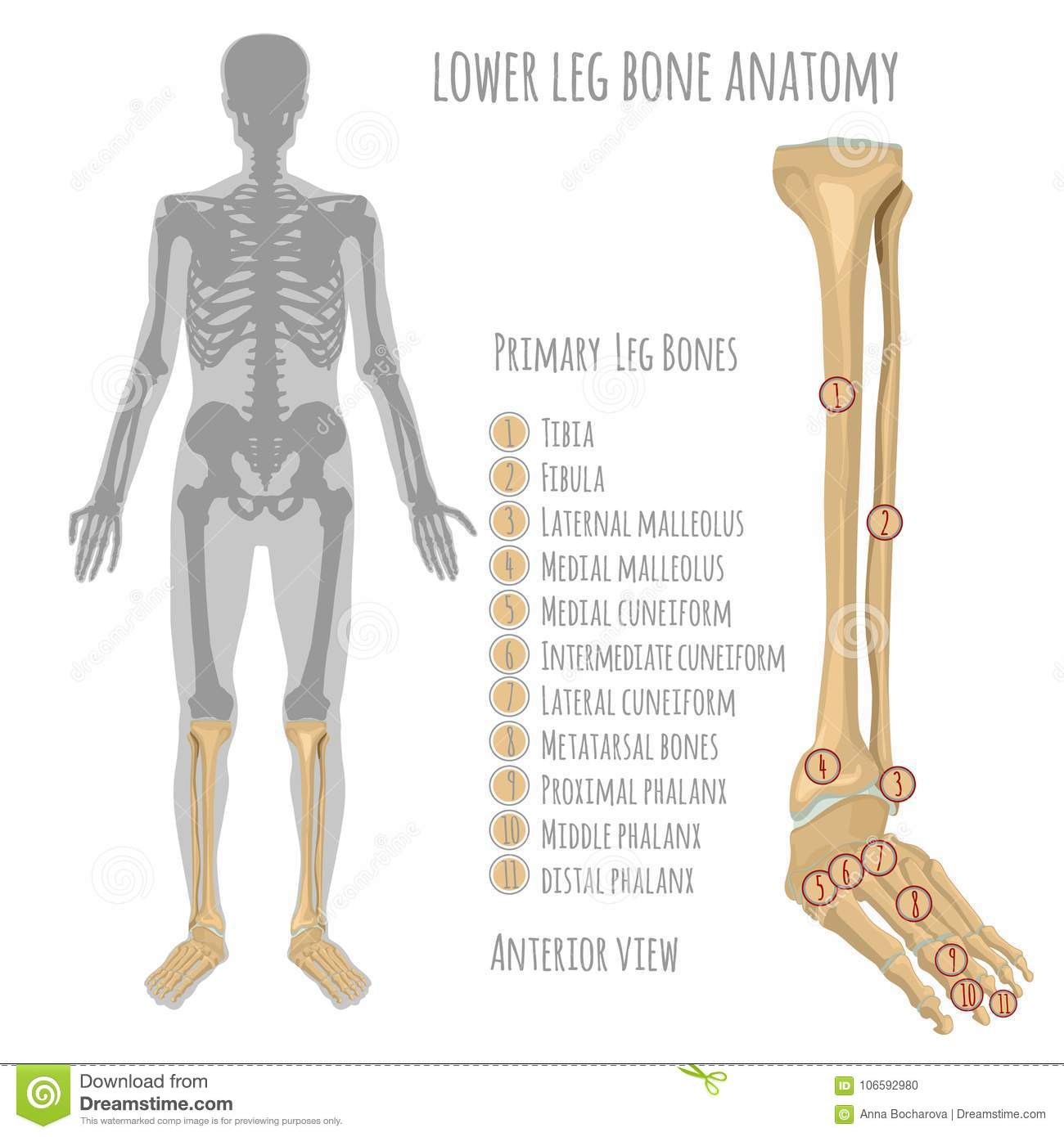 Lower Leg Bone Anatomy Stock Vector Illustration Of Backbone
