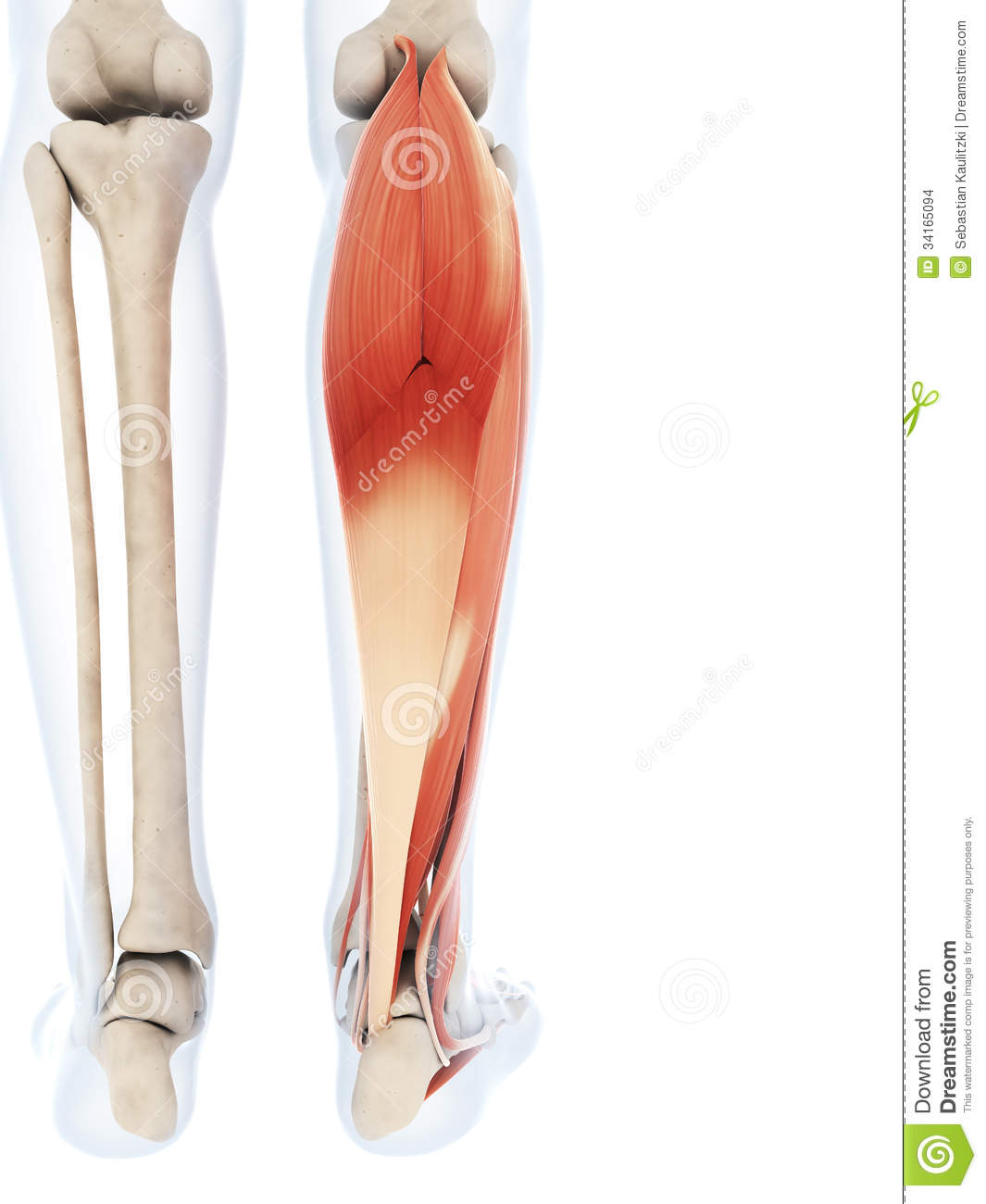 The Lower Leg Muscles Stock Illustration Illustration Of