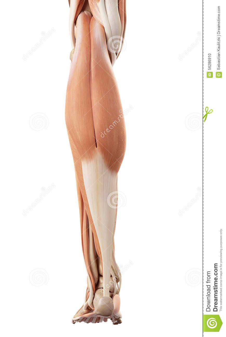 The lower leg muscles stock illustration. Illustration of anatomy ...