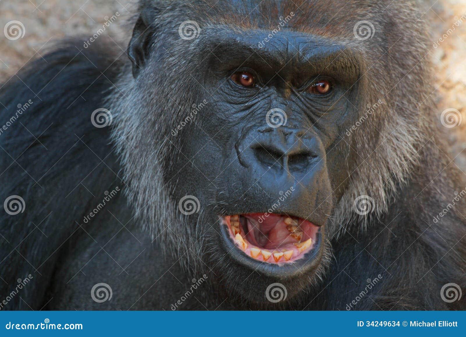 Gorilla Mouth Lowland Gorilla Stock ...