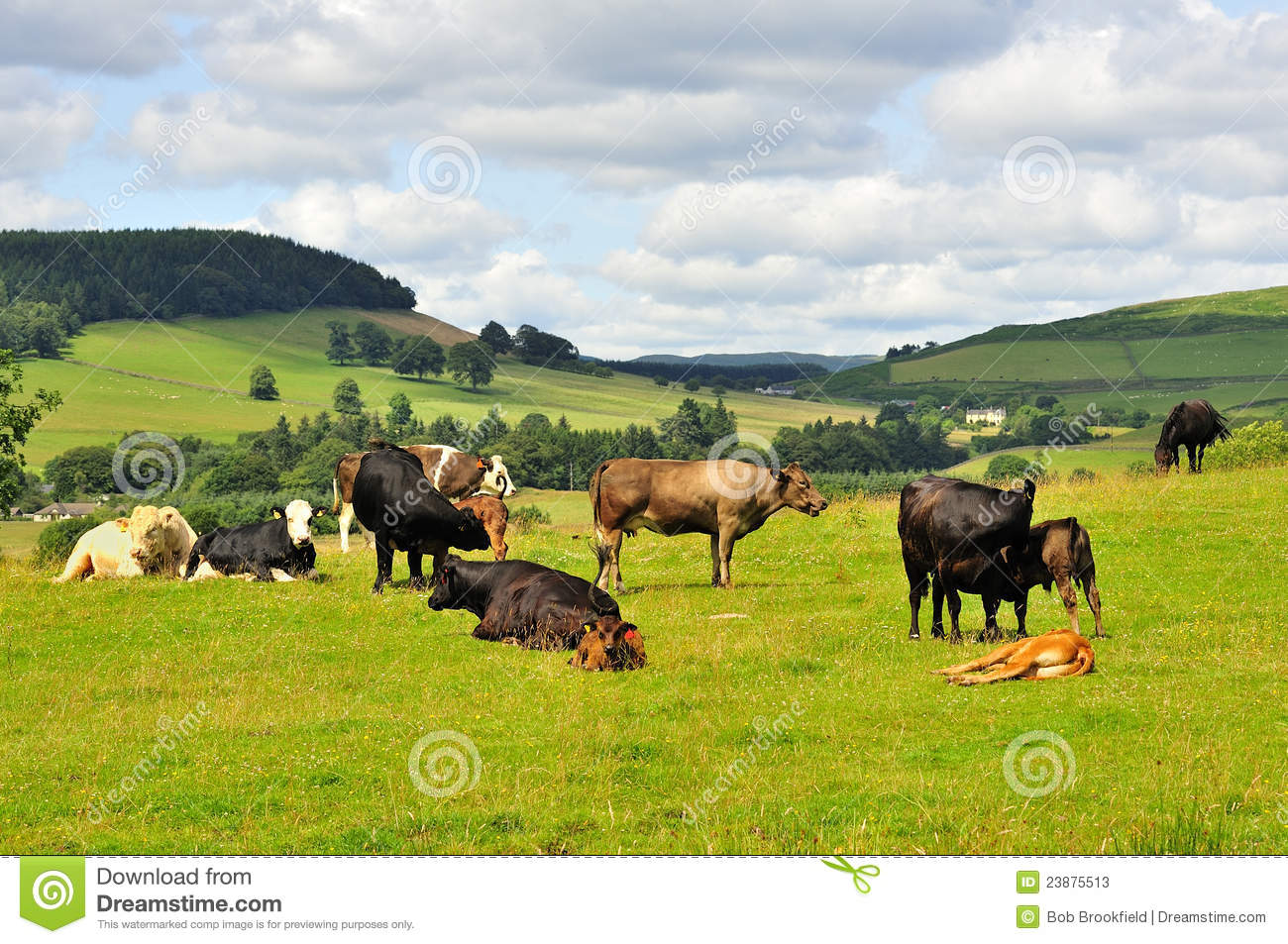 Lowlands Cattle, Moffat, Scotland